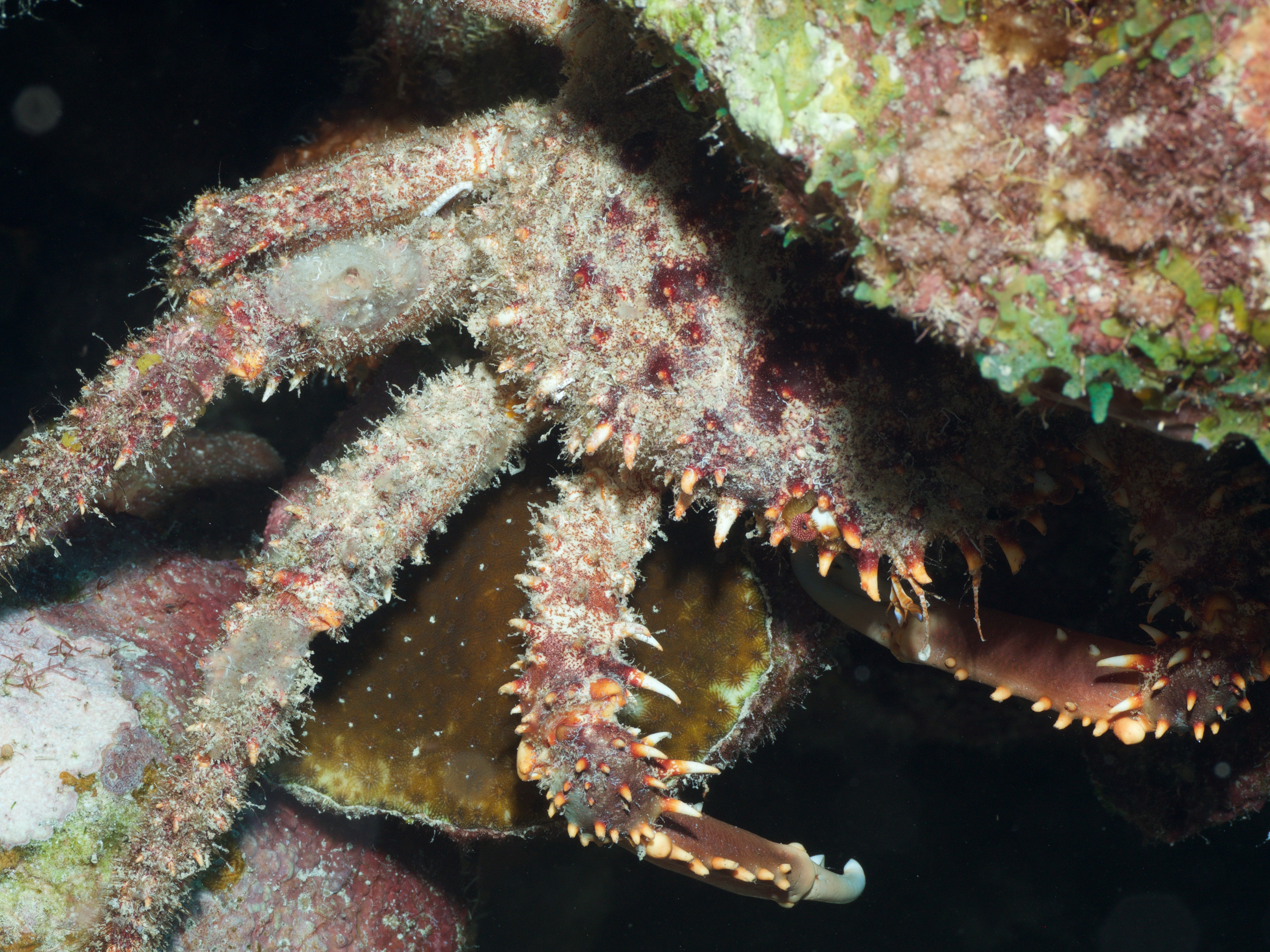 Hairy Clinging Crab